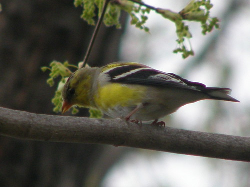 American Goldfinch molting