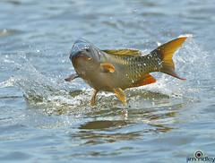 Fish Jump!! (JRIDLEY1) Tags: blue fish water jumping nikon bravo d200 specanimal abigfave anawesomeshot jridley1 jimridley nikon500mmvr newgoldenseal httpjimridleyzenfoliocom mygearandme photocontesttnc11 photocontesttnc12 photocontesttnc13