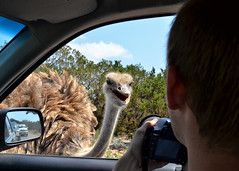 An Ostrich Encounter (Jeff Clow) Tags: texas wildlife ostrich encounter gapr