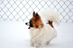 Running in the snow (Pappup2010) Tags: dog pet white snow cute animal butterfly puppy toy small sable running papillon pup pap toybreed butterflydog whiteandsable