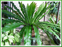Potted Asplendium Nidus (Bird's Nest Fern, Crow's Nest Fern)
