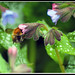 Bumble Bee in Offshoots Flower2