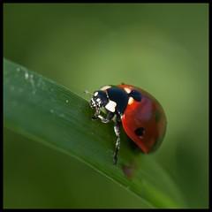 lady bug (Judy Rushing) Tags: nature bug insect insects ladybug ngm herowinner pregamewinner macroorcloseup enterpinnacle5211macrocloseup