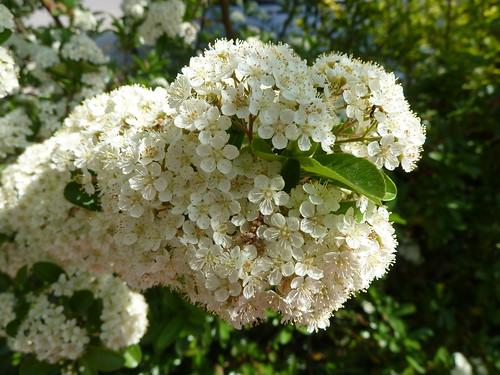 floretes blanques