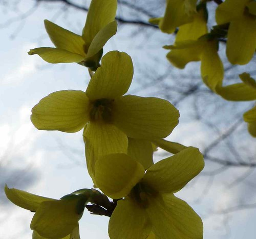Backlighted Forsythia