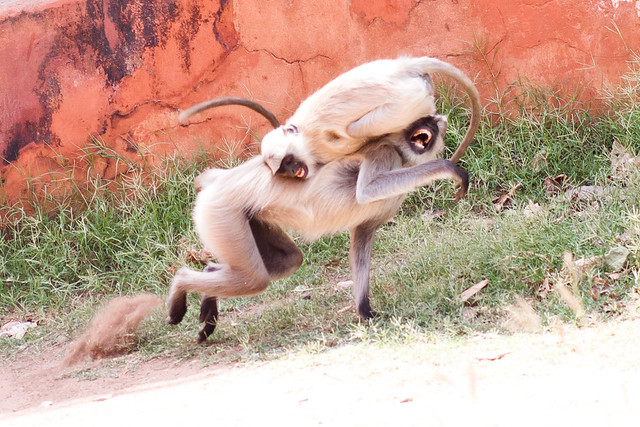 Sparring Monkeys at Jaigarh Fort