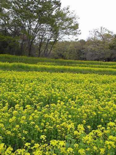 春の花々@明日香村-07