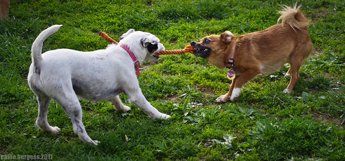 Evee and Roxy's tug-o-war