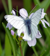Male Green-veined white (Garry1968) Tags: white butterfly blackveined