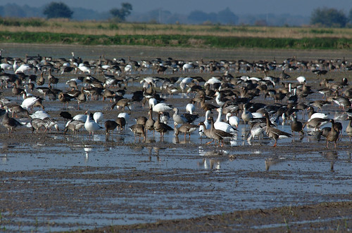 Greater White-fronted and lesser snow geese in a Louisiana rice field enrolled in NRCS' Migratory Bird Habitat Initiative.
