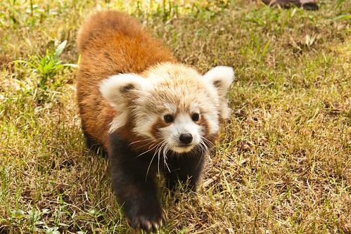 [フリー画像] 動物, 哺乳類, レッサーパンダ, 201104251700