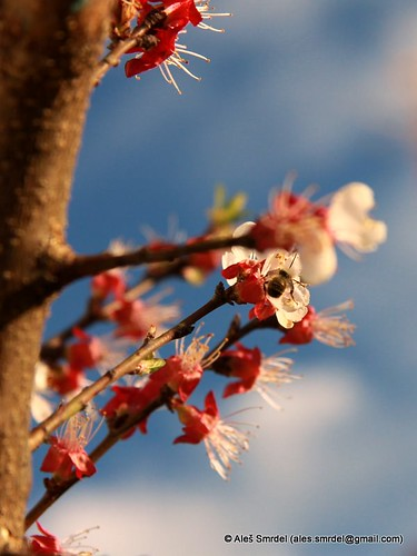 Last honey bee pollinating an apricot tree