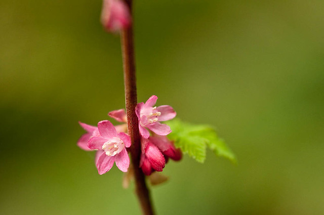 Red-flowering currant (Ribes sanguineum) flowers