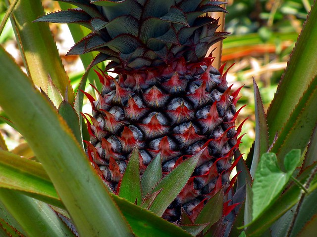 Photo: Pineapple