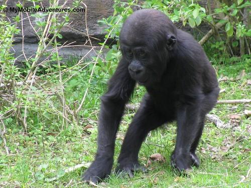 IMG_5329-WDW-DAK-baby-gorilla-oh-my