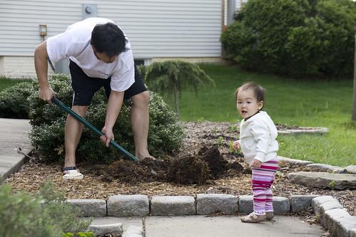 planting maple