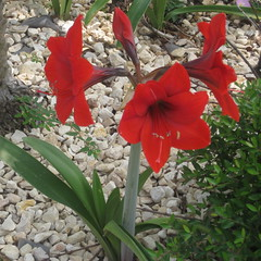 Neighbor's amaryllis