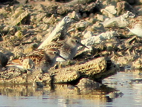 Calidris Sandpipers 6-20110425