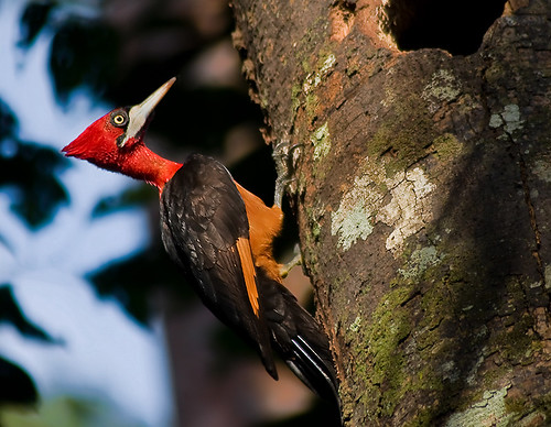 pica-pau-de-barriga-vermelha femea by vhobusfoto
