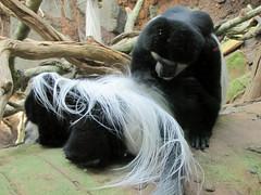 Black and White Colobus Monkeys (bookworm1225) Tags: march minnesotazoo 2011 tropicstrail