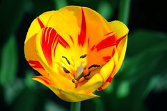 Yellow tulip (sovlanik) Tags: from red sunlight plant flower color green nature beautiful beauty field grass yellow garden out season outdoors photography leaf spring saturated stem day purple bright image blossom head vibrant background group formal may nobody petal growth tulip backgrounds cheerful arrangement variation multi foreground descriptive