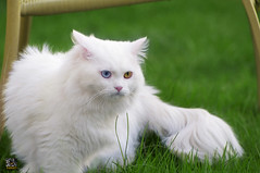 (Fahad Al-Robah) Tags: blue white nature yellow cat garden jump eyes different farm     a
