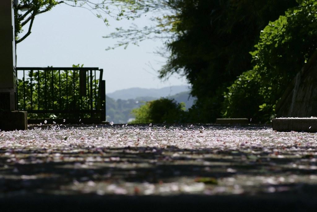 Cherry Blossom 151