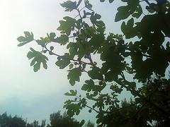 smokva1