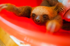 Aviarios Sloth Sanctuary (DaveMosher) Tags: vacation costarica animalrescue tropics centralamerica sloths slothsanctuary babysloths