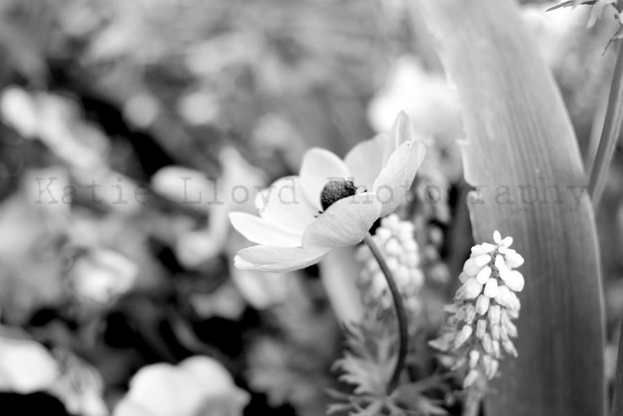 One Anemone - B&W