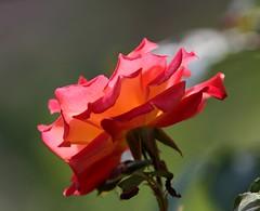 Red rose, Merano (Mattia Camellini) Tags: flowers italy flores macro nature rose closeup italia flor rosa natura stockphotos bloom fiori altoadige merano imagebank canonef135mmf2lusm photobank bancaimmagini canon7d mattiacamellini imagerent imagesdatabase