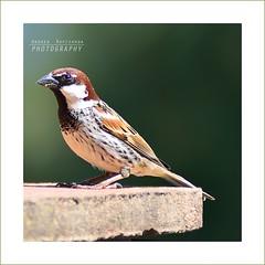 Un passero sul davanzale (Andrea Rapisarda) Tags: portrait bird nature closeup nikon zoom bokeh natura sparrow tele uccello sfocato passero profilo nikon80200mm d7000