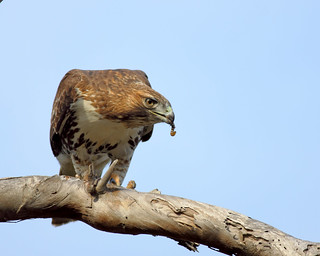 Red-tailed Hawk Snacking on a Rattlesnake