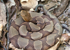 "C-Falls - copperhead coiled 2 • <a style=""font-size:0.8em;"" href=""http://www.flickr.com/photos/30765416@N06/5702101874/"" target=""_blank"">View on Flickr</a>"
