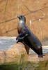 Seal of approval (Mr Grimesdale) Tags: steve wallace sealion blackpoolzoo mrgrimesdale