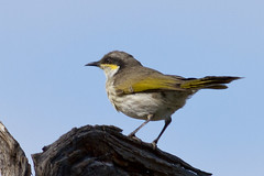Singing Honeyeater (petefeats) Tags: nature birds australia queensland australianbirds passeriformes meliphagidae bowra singinghoneyeater lichenostomusvirescens