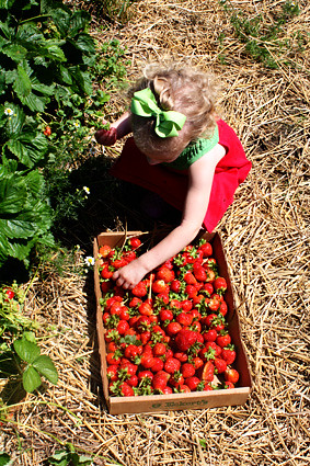 Autumn-picking-stawberry-out-of-box