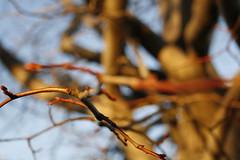(Lolita *) Tags: sky tree closeup arbol rojo dof bokeh cielo rama ramitas 20110525img2263up