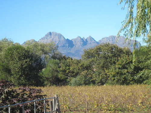 Vineyards in Stellenbosch