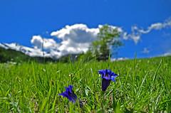Mountain flowers 2 (maurococi) Tags: sky italy cloud mountain flower grass piedmont frais valsusa genzianella gettyimagesitalyq1 gettyimagesitalyq2