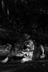 Dog In Forrest (PÅL) Tags: light shadow portrait bw dog pet sun beauty blackwhite dof dream pippi firefly primelens bwdreams pocketwizard strobist nofix primeglass canon7d canonspeedlight430exii
