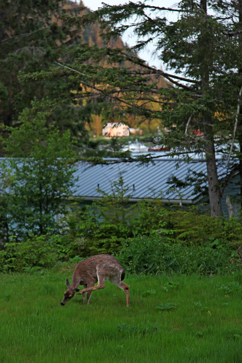 deer in my yard, stretching and scratching, Kasaan, Alaska