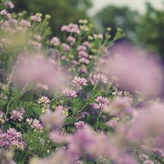 atop the sledding hill (jamie {74}) Tags: pink flowers green square 50mm nikon purple lavender wildflowers nikkor f28 foregroundblur natureycrap purplecrownvetch d7000 blartsy