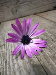 (Pahz) Tags: flower purple daisy africandaisy