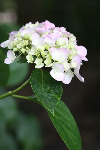 梅雨に咲く花・アジサイ