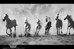 "Wild horses (Queen333"" ) Tags: wild horses white canon hair mark queen ii saudi arabia 5d riyadh 70200                 ghadah"