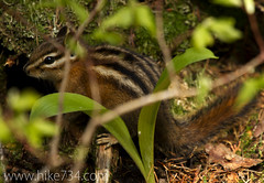 "Chipmunk • <a style=""font-size:0.8em;"" href=""http://www.flickr.com/photos/63501323@N07/5887114420/"" target=""_blank"">View on Flickr</a>"