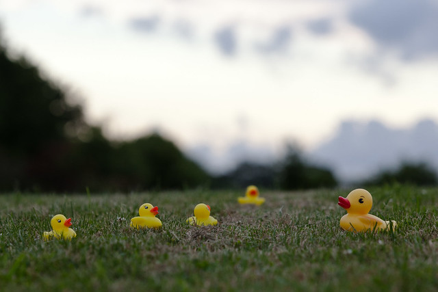Ducks (橡皮小鴨)
