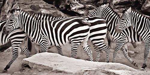 Cebras-1