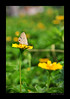 A small butterfly on a small flower (e.nhan) Tags: flowers light flower art nature yellow closeup daisies butterfly nikon colorful colours dof bokeh butterflies daisy backlighting d90 enhan